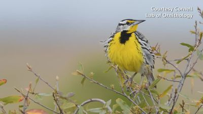 Bird numbers plunge in U.S. and Canada: study