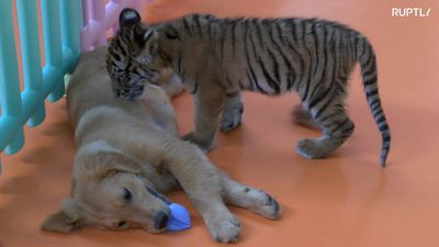 Puppies play with abandoned lion and tiger cubs at Beijing zoo