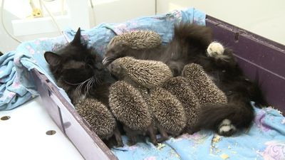 It's a purrrfect match! Felines adopt wild animal cubs
