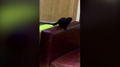 Hungry monkey escapes zoo and dines at Mcdonalds