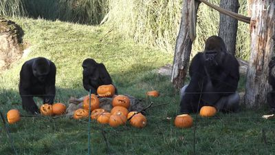 London zoo serves up Trump themed pumpkins to gorillas