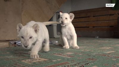 Two cute lion cubs make adorable debut at Vladisovstok zoo