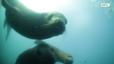 Sneaky sea lions attempt to snatch diver's paddles and camera