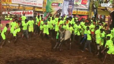 Strong as a bull! Contenders tossed like ragdolls at Indian bull-taming festival