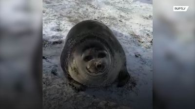 Adorable seal rescued after getting stranded on icy Baikal