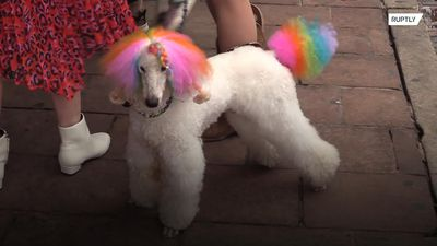 Cute or callous? Well-groomed pooches make debut at SXSW premier