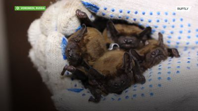 Let's HANG around! Voronezh woman takes care of 250 BATS in her flat