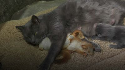 Cat adopts baby squirrels in Crimea