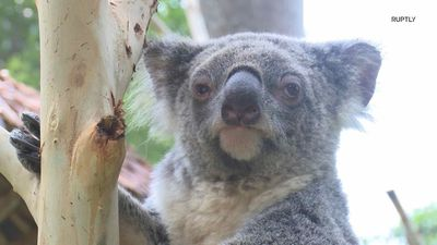 Largest overseas koala population welcomes new cub for some koalaty time