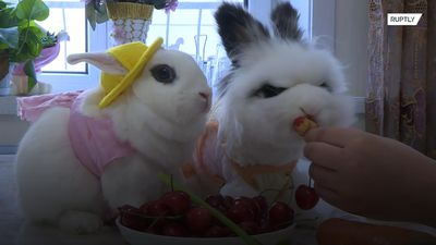 Adorable 'Playboy' bunnies become internet sensation