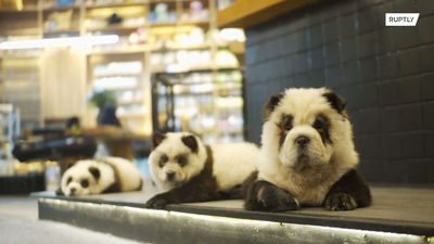 Pet cafe faces backlash for dying dogs to make them look like pandas