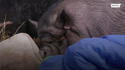 Saved her bacon! 200kg piglet, called Twiglet, is rescued from a flat and put on a diet