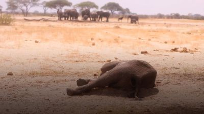 Zimbabwe prepares for animal mass migration after more than 100 elephants die in drought