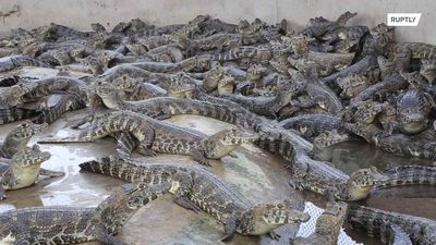 Farm offers shelter to caimans escaping Pantanal wildfires