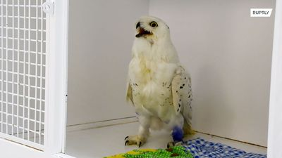 Baby snowy owl rescued from trap by vets in Siberia