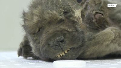 Wolf or dog? 18,000-year-old canine mummy presented in Yakutsk