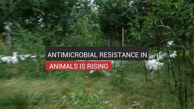 Antimicrobial Resistance In Animals Is Rising