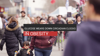 Glucose Wears Down Circadian Clocks In Obesity