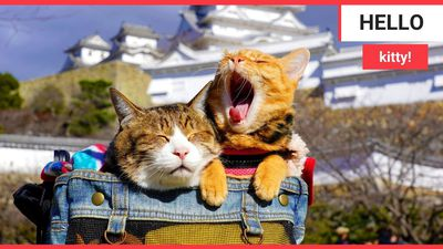 These adorable pictures show the real Hello Kittys! - rescue kittens that travel Japan in their owne
