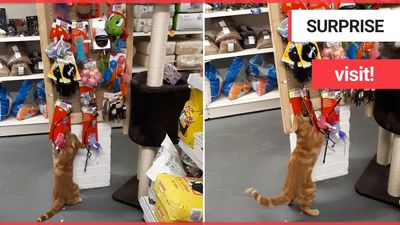 A friendly cat has become a local hero after making itself at home in almost every store on a high s