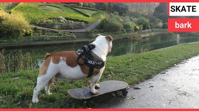 A talented bulldog prefers to use his SKATEBOARD than his four paws to get around