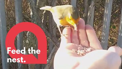 Bird lover feeds robins by hand