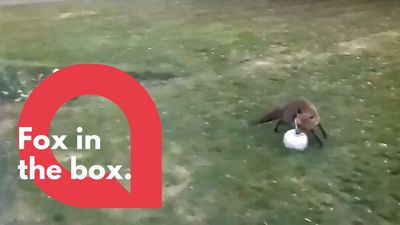 A playful fox uses quiet time to practise its ball skills