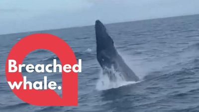 Stunning footage of humpback whale just yards from boat