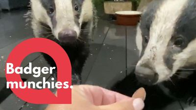 Woman gains the trust of wild badgers - and now feeds them by hand!