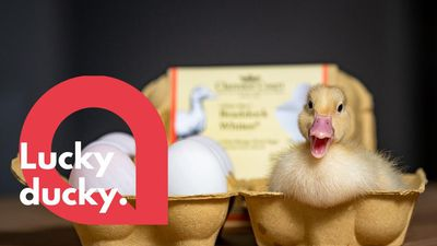 Woman ends up with a duckling after putting duck eggs in incubator
