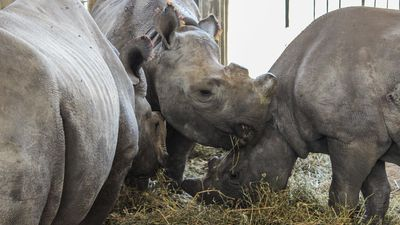 How rhino orphans get back into the wild at Hluhluwe-Imfolozi in South Africa