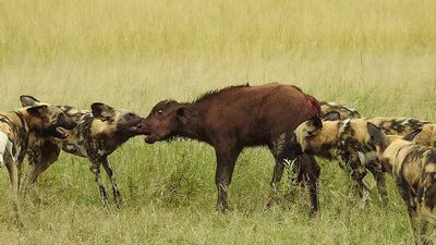 Pack of wild dogs take down 5 calves in buffalo buffet frenzy