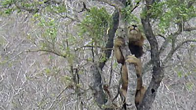 Lion tries its luck taking on a leopard in a tree with a dead buck