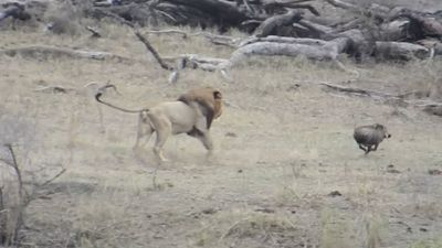 Male lion ruins lionesses' hunt of a warthog