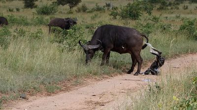 A mama buffalo gives birth and adorable first steps of newborn