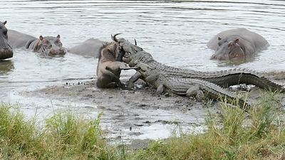 Incredible Kruger dam scene plays out as hippos rescue wildebeest