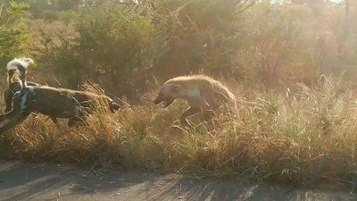 Wild dogs and hyenas fight over kill in Kruger