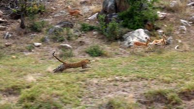 Sneaky leopard catches impala mid-air in perfect hunt