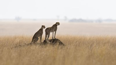 Giraffes become world's most gifted voyeurs as cheetah 'threesome' plays out