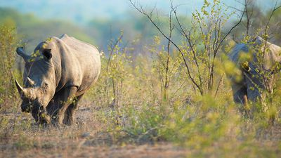 WATCH: Rhino charges and hits car