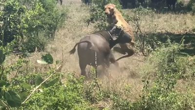 Kruger buffalo flicks lion into air like a toy