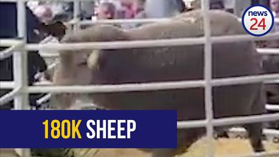 WATCH: Breeding rams sell for R180k at Bloem auction