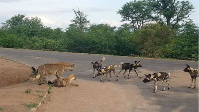 The tense standoff between a pack of wild dogs and a hyena protecting its den