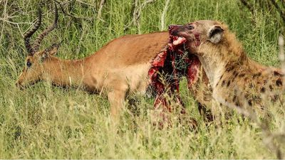 This Kruger hyena disembowels an impala as it tries to run away (Warning: Graphic Content)