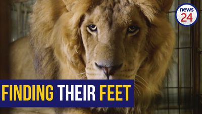 WATCH: Gaza rescue lions walk on grass for the first time