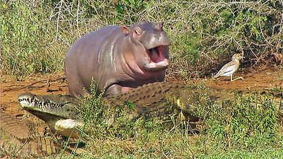 Baby hippo takes on crocodile and buffalo in cutest riverside squabble
