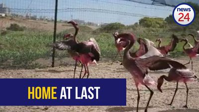 WATCH: Home at last - 42 rescue flamingos returned to the Northern Cape