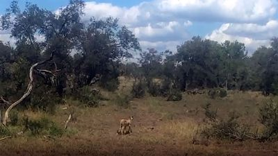 A cheetah crouching, and stalking, and chasing an impala right next to the road