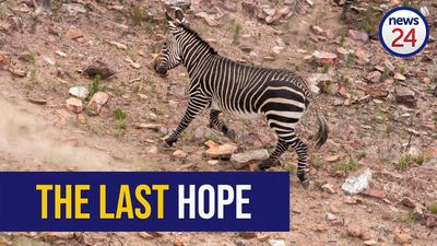 WATCH: The battle for the Cape Mountain Zebra's future