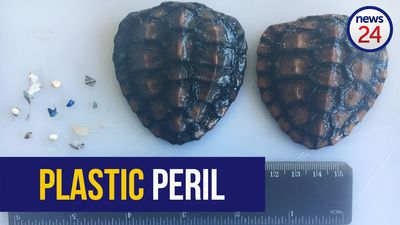 WATCH: Baby turtles 'most likely' killed by plastic